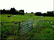 H6257 : Cows, Richmond, Ballygawley by Kenneth  Allen