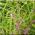 SK4338 : Meadow flower, Dale Abbey by Alan Murray-Rust