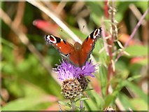NZ2313 : Peacock butterfly on a Knapweed flower by Oliver Dixon