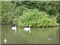 SE2641 : Swans on the lake in Golden Acre Park by Stephen Craven