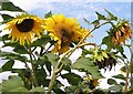 TG3106 : Sunflower heads by Evelyn Simak