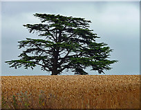 SO5620 : Cedar near Goodrich (2) by Stephen Richards