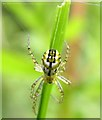 TQ7818 : Cricket-bat orb weaver spider, Churchland Lane, Sedlescombe by Patrick Roper