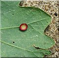 TG3106 : Smooth spangle gall on oak leaf by Evelyn Simak