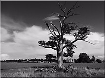 SO8844 : Old oak tree in Croome Park by Philip Halling