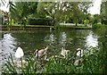 SK5701 : Family of swans on the Grand Union Canal by Mat Fascione