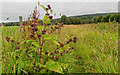 NH5543 : Burdock on the track to the Giant's Grave by valenta