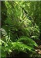 SX7068 : Ferns on the bridleway by Derek Harper