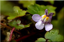 SJ3999 : Ivy-leaved Toadflax (Cymbalaria muralis), Melling by Mike Pennington