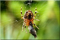 SJ3999 : A spider with prey, Melling by Mike Pennington