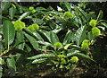 SX7960 : Sweet chestnut, Castle Meadow, Totnes by Derek Harper