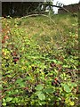 SX7960 : Blackberries, Castle Meadow, Totnes by Derek Harper