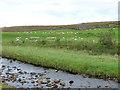 SD7579 : Sheep grazing at Gunnersfleet by Stephen Craven