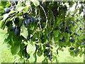 SO6855 : Damson plums by Philip Halling