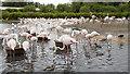 SO7104 : Flamingos, Slimbridge by Rossographer