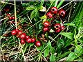 H2678 : Wild plants -5 , Aghakinmart by Kenneth  Allen