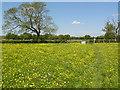 ST2825 : Buttercup Meadow by Tony Atkin