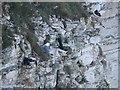 TA1974 : Nesting seabirds, Bempton Cliffs by Graham Robson