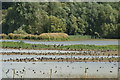 SK8706 : View of ducks and geese on the lake from Mallard Hide in Rutland Water : Week 37