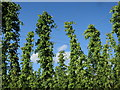 TQ8029 : Hop garden at Hoad's Farm by Oast House Archive