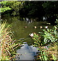 ST0781 : Ducks on Creigiau Pond, Creigiau by Jaggery