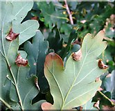 TG3204 : Macrodiplosis pustularis galls on oak by Evelyn Simak