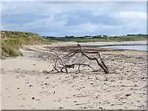 X1477 : Driftwood on the beach at Whiting Bay by Oliver Dixon
