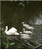 SP0957 : Swan and cygnets. River Arrow by Derek Harper