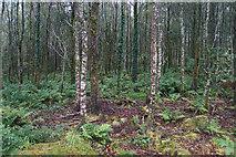 SH5748 : Birch wood near Meillionen by Bill Boaden