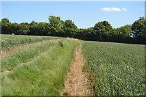 TL5334 : Footpath through wheat by N Chadwick