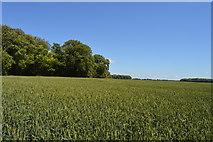 TL5334 : Wheat near Rosy Grove by N Chadwick