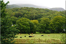SH5848 : Cattle near Beddgelert by Bill Boaden
