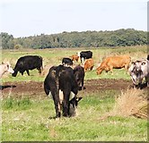 TG3504 : Cows and calves in the marshes by Evelyn Simak