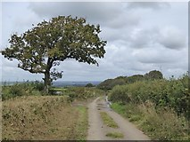 SX5598 : Tree by field gate south of Westacombe by David Smith