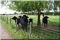 SE3696 : Buffalo in field beside track to Firtree Farm by Roger Templeman