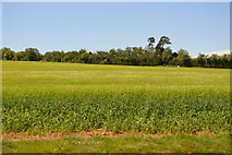 TL5336 : Cereal field by N Chadwick