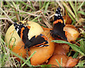 NT5434 : Red Admiral butterflies at Priorwood Garden in Melrose by Walter Baxter