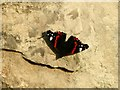 SK8374 : Red admiral butterfly basking by Alan Murray-Rust