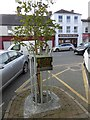 N9690 : Commemorative tree in Market Street, Ardee by Oliver Dixon