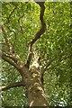 SX9292 : Plane tree, Southernhay Gardens, Exeter by Derek Harper