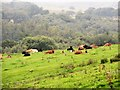 NZ0548 : Resting cattle at Spring Hill by Robert Graham