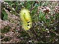 TF6728 : Yellow furry caterpillar near The Decoy on Dersingham Bog, Norfolk by Richard Humphrey