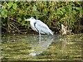 ST7663 : Heron in Prior Park by Philip Halling