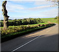 SO3416 : Pollarded tree,  Llanddewi Skirrid, Monmouthshire by Jaggery
