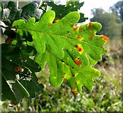 TG3204 : Common Spangle galls on oak by Evelyn Simak