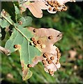 TG3204 : Silk button spangle galls on oak by Evelyn Simak