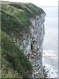 TA1974 : Birds nesting, Bempton Cliffs by Graham Robson