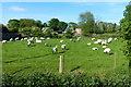 TA3719 : Sheep at Bleak House Farm, Skeffling by Mat Fascione