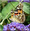 NZ1266 : Painted Lady  (Vanessa cardui), Heddon Butterfly Garden by Andrew Curtis