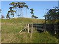 TQ9245 : Pine trees on the Greensand Ridge near Pluckley by Marathon